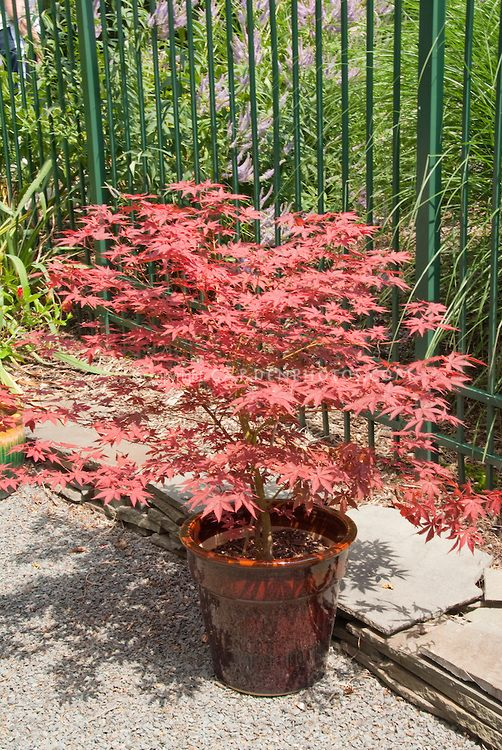 Japanese maple tree in pot plant flower stock for Maple trees for small gardens