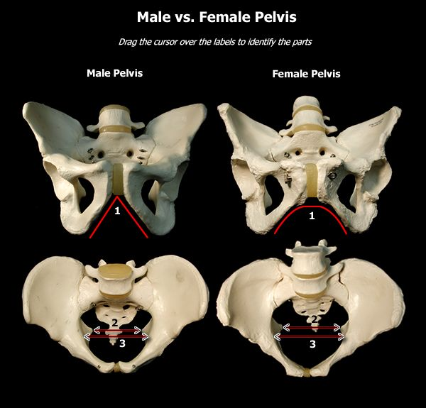 Male Vs Female Pelvis  Male Vs Female Pelvis  Studio101 -1016
