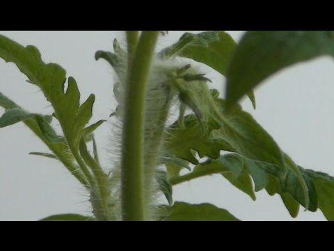 Рассада помидор!!! 15 мая Китайский метод!!! Смотреть до конца!!!