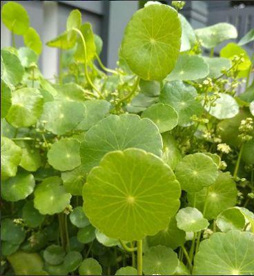 Para Que Sirve La Centella Asiatica Centella Decoracion De Acuarios Plantas