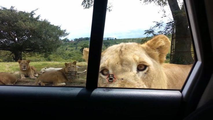 What would you do? #LasVegasCriminalAttorney www.lcslawcriminal.com http://www.huffingtonpost.com/2015/03/04/lion-opens-car-door_n_6800436.html?utm_hp_ref=weird-news
