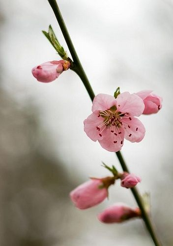 Fiori rosa, fiori di pesco via designlovely.tumblr.com