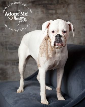 Meet Sevati - Available for Adoption from Legacy Boxer Rescue