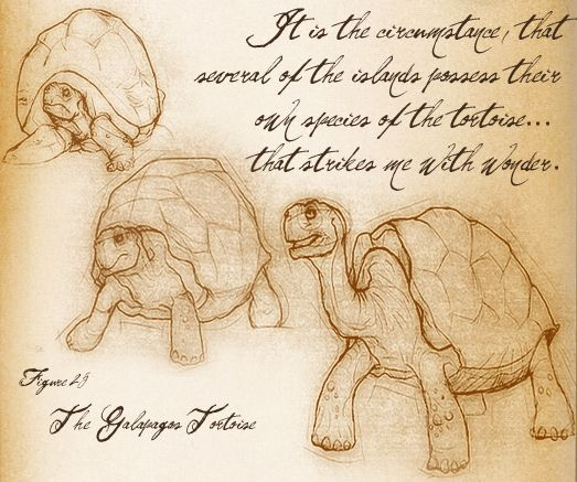 A sketch of the Galapagos Tortoise by Darwin