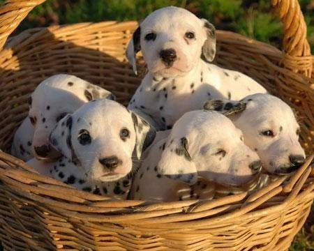 Cachorros dalmatas en cesta