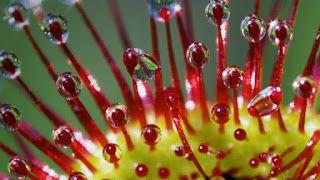 Плотоядные растения: Зимующие росянки