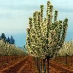 Spring Snow Crabapples have arrived at Pine Lane Nursery in Parker, CO for the upcoming spring season!
