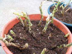 Geranium Care Overwintering Geraniums
