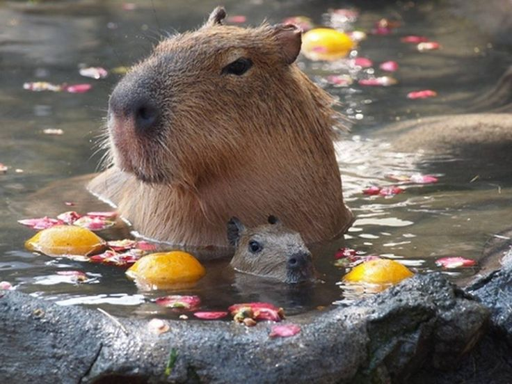 mom capybara with her sweet little baby!