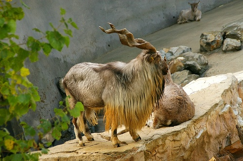 Markhor , the national animal of Pakistan, a large specie of wild goat is an indigenous mammal of Afghanistan , Pakistan ( Gilgit Baltistan , Hunza Nagar Valleys and Kashmir regions ) , some parts of North India , Southern Tajikistan and Southern Uzbekistan.