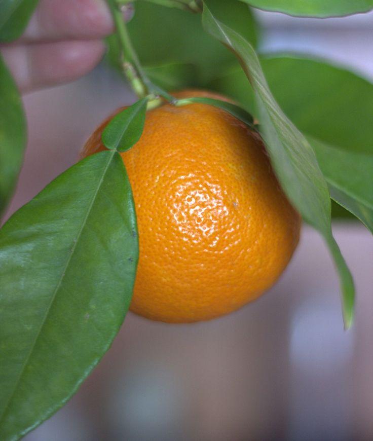 A bitter orange,still in the tree