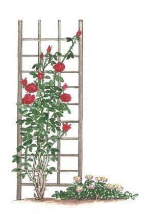Róże pnące (po lewej) osiągają kilka metrów wysokości i trzeba je sadzić przy podporach