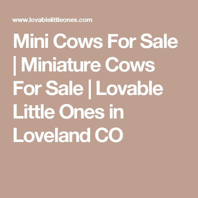Mini Cows For Sale   Miniature Cows For Sale   Lovable Little Ones in Loveland CO
