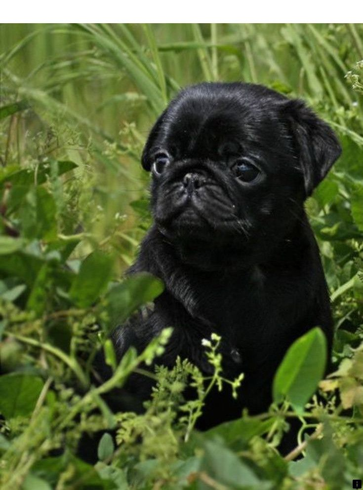 Visit The Webpage To Read More About Teacup Pugs For Sale Click