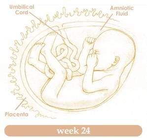 Planning Twenty Fourth Week of Pregnancy