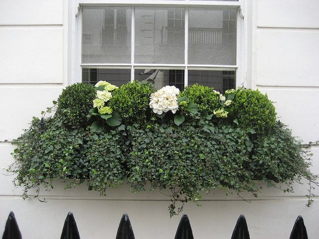 White hydrangeas, boxwoods and ivy, Perfect for the shade and low maintenance. #windowbox