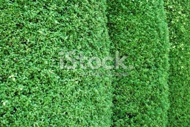 Hedge Row of Pittosporum Royalty Free Stock Photo