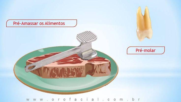 Função dos Dentes Pré-Molares