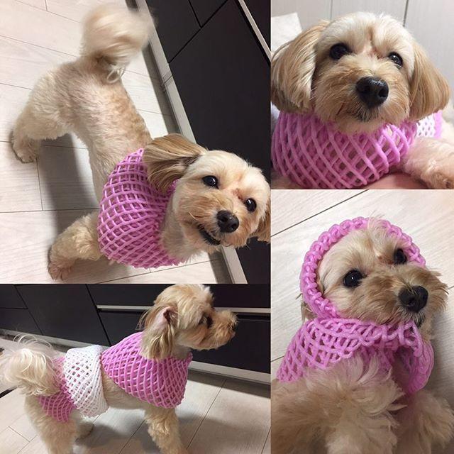 ネット犬🐶本日はマンゴーのネットU^ェ^U  右の上写真、どっかのマダムの膝にいそう😂 ご機嫌で遊ばれてます^ ^💕 #果物 #果物ネット #ネット #服 #dogstagram #dog #pretty #pet #cute #pink #white #fruit  #マルプー #マルプー連合 #犬 #愛犬  #大好き#マルチーズ#プードル #いぬ