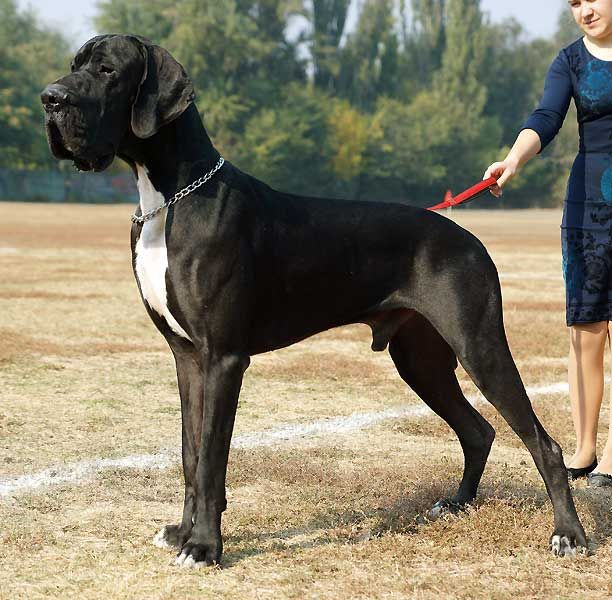Giant Great Dane Guy