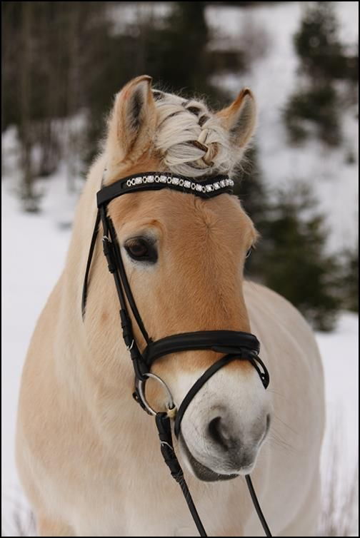 Gnist with browband from Equina, Norwegian Fjord horses,
