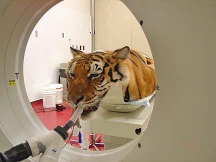 Dog Brain Cat Scan
