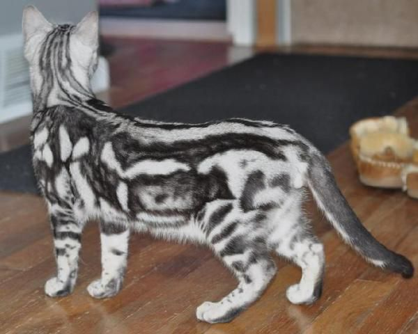 Marbled Bengal Cats Up For Adoption