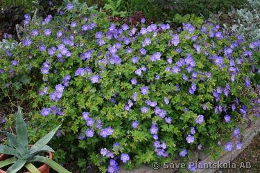 """Geranium """"Jolly Bee"""" trädgårdsnäva - slänt ner från platå famsida"""