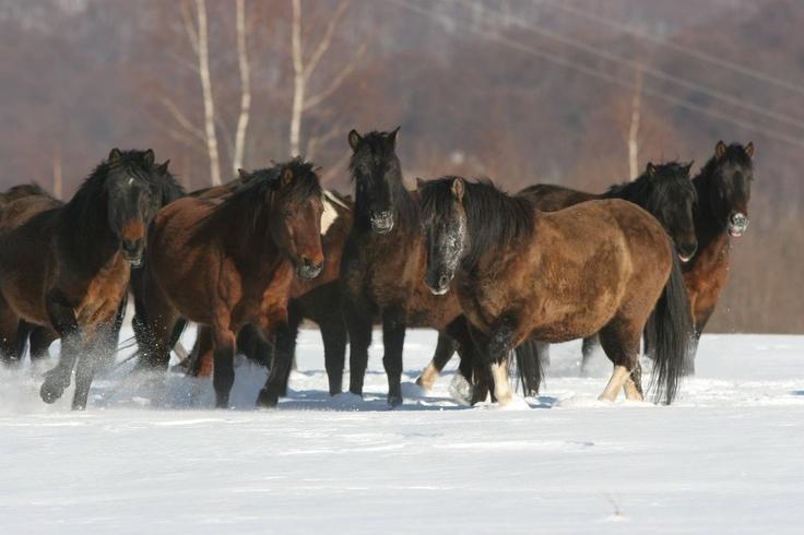 Hucul (carpathian) Pony