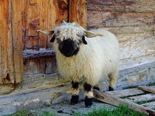 Wallis | Lili's hobbies | Sheep, Valais blacknose sheep ...