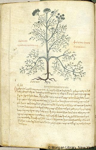 De materia medica, MS M.652 fol. 35v - Images from Medieval and Renaissance Manuscripts - The Morgan Library & Museum