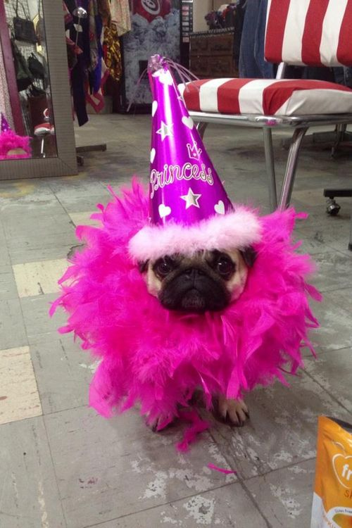 Ms. Pug wants to make sure you don't forget her princess status. Ever.