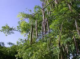 La Moringa: ¿una planta milagrosa? | Caribbean News Digital