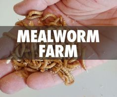 If you are looking for a way to raise your own protein cheaply, easily, and with almost no space or infrastructure, look no further than mealworms. When food is scarce, ...