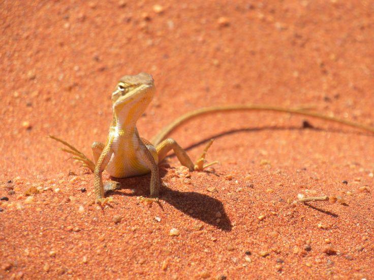 #Lizard #Desert #Wasteland #Australia #Uluru #Sand