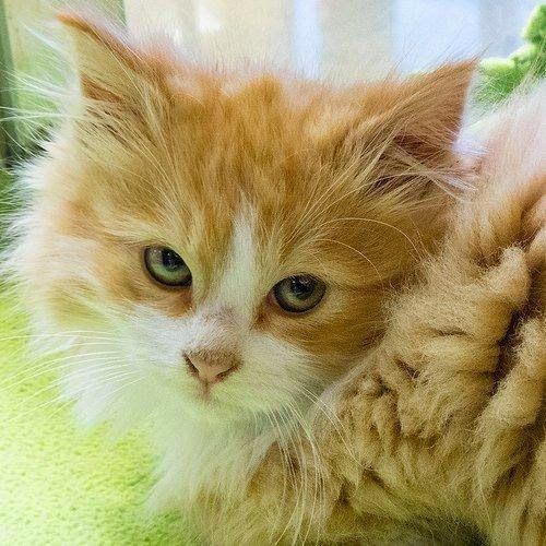 Las pulgas en los gatos es algo muy común y normalmente se suelen recurrir a los productos anti-pulgas o las pipetas que se adquieren en el...