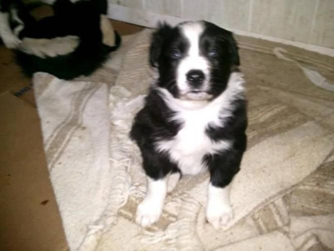 Border Collie Australian Shepherd Cross Puppies For Sale In Border