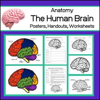 Human Brain   Anatomy Posters and Worksheets   Human brain ...