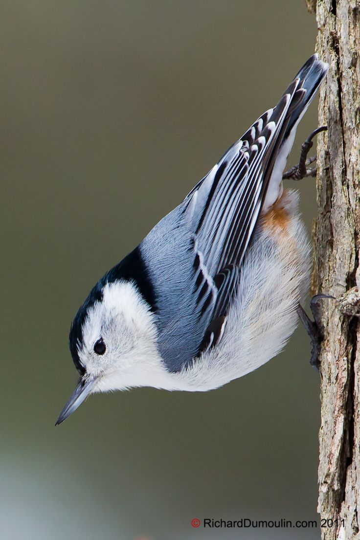 White-breasted nuthatch is the only North American nuthatch usually found in deciduous trees