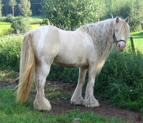 pearl, cremello, perlino or champagne genes plus pinto create some nearly white horses