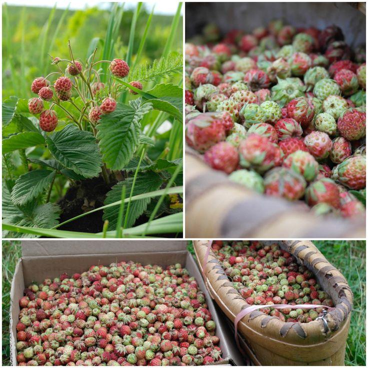 урожай ягод в этом году небогатый, но нам удалось собрать немного в один из дней, лето 2016