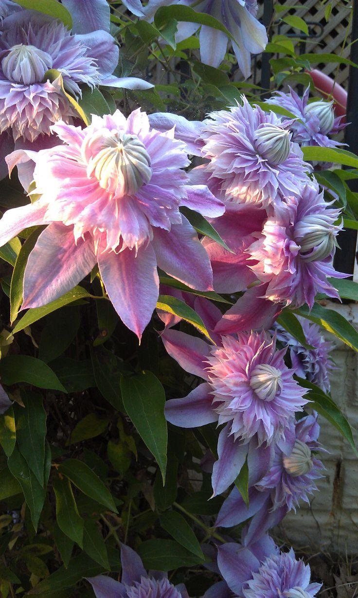 les 34 meilleures images du tableau plantes grimpantes sur pinterest belles fleurs fleurs. Black Bedroom Furniture Sets. Home Design Ideas