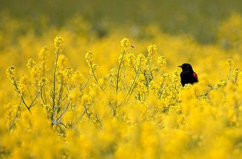 Red-winged Blackbird in a Sea of Yellow,  by David Orias
