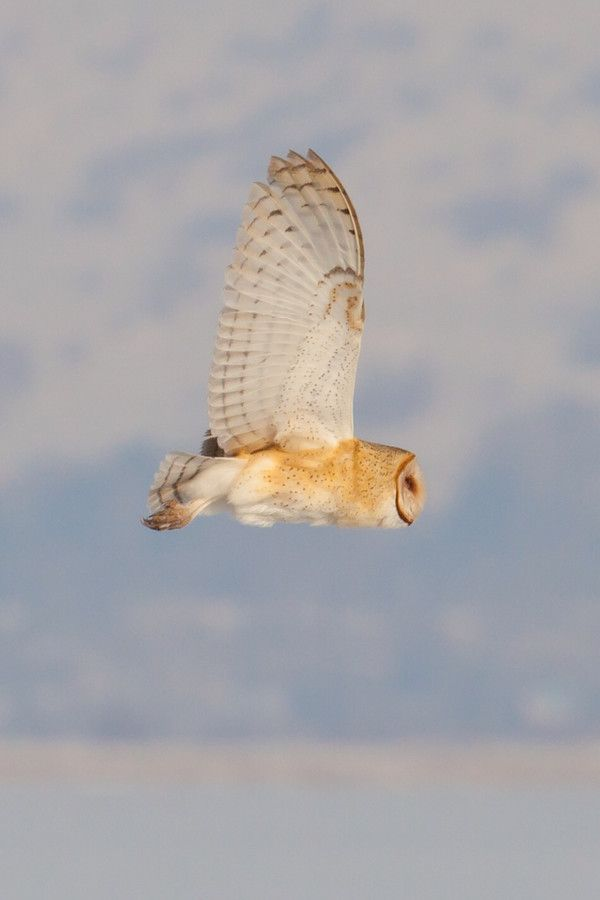 17 Best Images About Owl Flying On Pinterest Owl Sketch