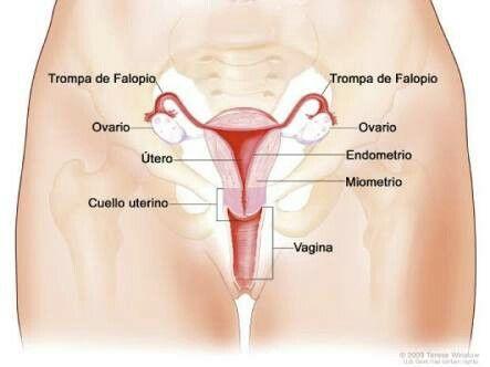 Elaparato genital femenino(oaparato reproductor femenino) se compone de dos partes: elútero, que alberga el feto en desarrollo, produce secrecionesvastigialesy uterinas, y que traslada elespermaa lastrompas de falopio; y losovarios, que producen los ovocitos o gametos femeninos