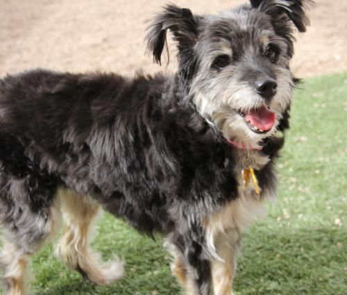 AZ Small Dog Resc; Phx, AZ. MIA <3 • English Springer Spaniel & Terrier X • Female • Small. 4 yrs, 16 lbs. My previous owner moved to assisted living and could no longer care for me. I'm looking for a home that is similar to my last. I would love a quiet, low activity home with a sweet owner that just wants company. I am so sweet and gentle. I am friendly and eager for a new home. I love to cuddle and lay in bed with you.