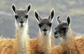 Chile - wildlife