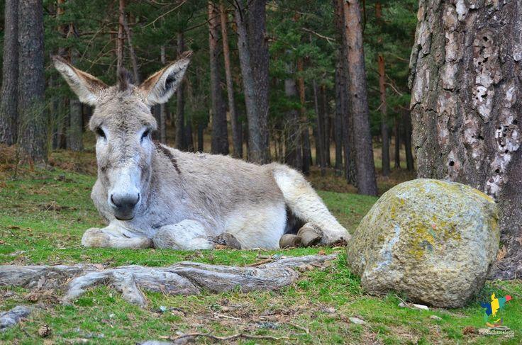 donkey, animals, spain, españa, andalucía, hostelsmadrid, Madrid, cercadilla, sierramadrid, photographymadrid, photos, green, trees, forests...
