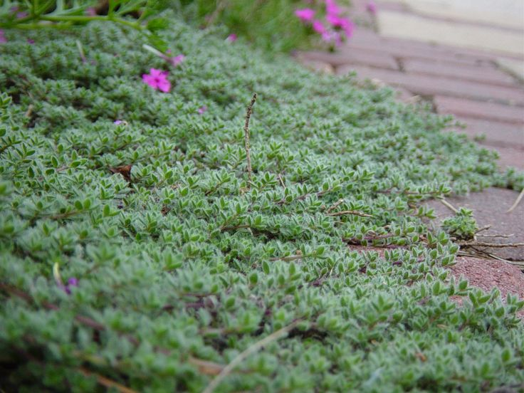 Wooly Thyme good ground cover with roses