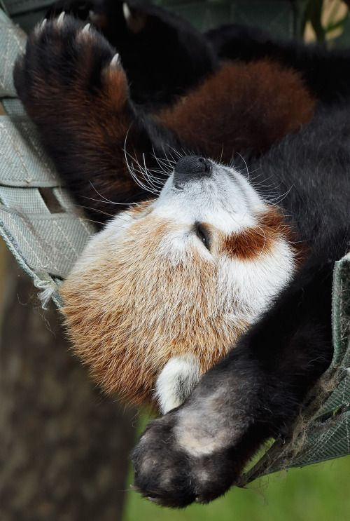 It  may seem like the roly-poly giant panda was the first true panda, and  the red panda was added for fun. But French zoologist Frédéric Cuvier  first described the western red panda Ailurus fulgens fulgens in 1825,  48 years before the black-and-white bear was cataloged. After examining a  red panda, he said it was the most beautiful animal he had ever seen  and named it Ailurus (from the Greek word ailouros, which means cat, and  fulgens, meaning fire-colored or shining . (photo: Debbie…